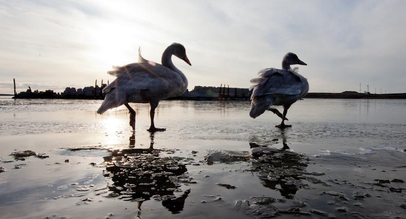 swans3-790